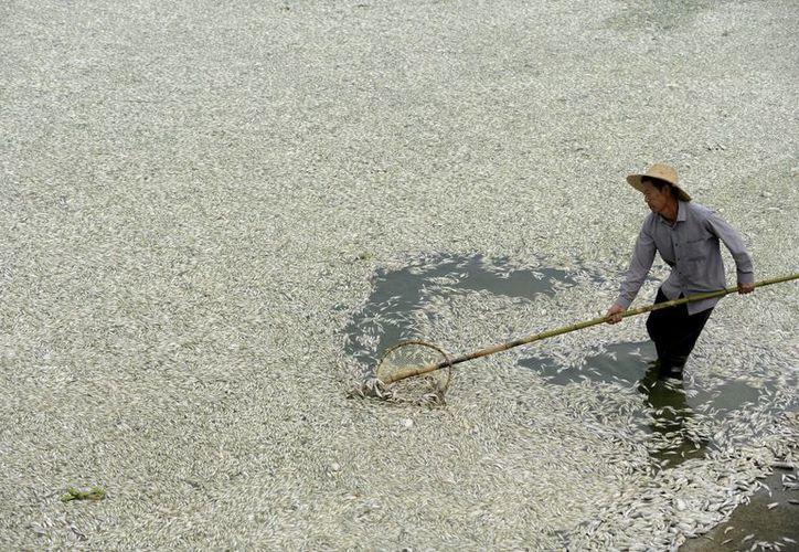 Un hombre recoje peces muertos cerca de una estación bombeo del río Fuhe en la provincia de Hubei, China. (Agencias)