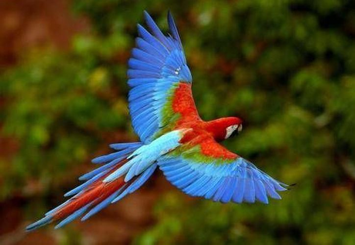 Las guacamayas rojas, que son criadas en el Xcaret, son liberadas en su hábitat. (Redacción/SIPSE)