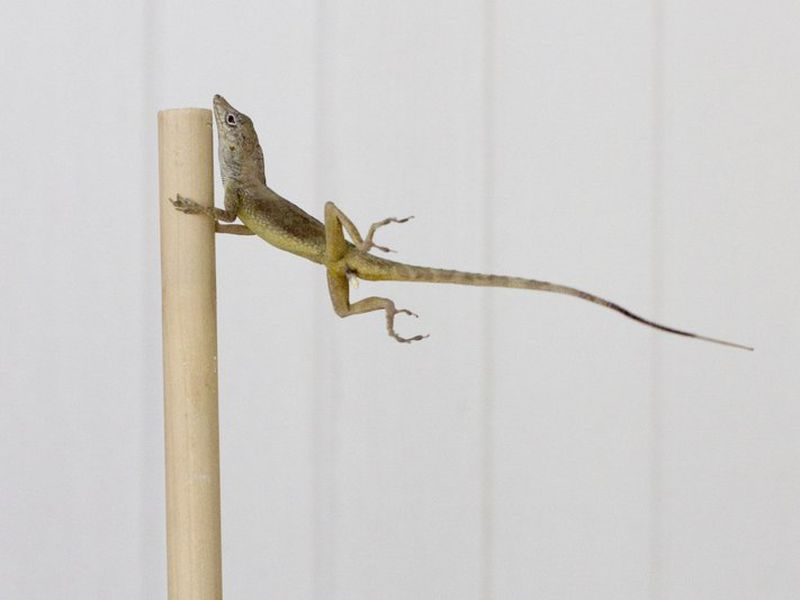 """All the lizard needs is an inside out umbrella and the image would be perfect"""". (AP)"""