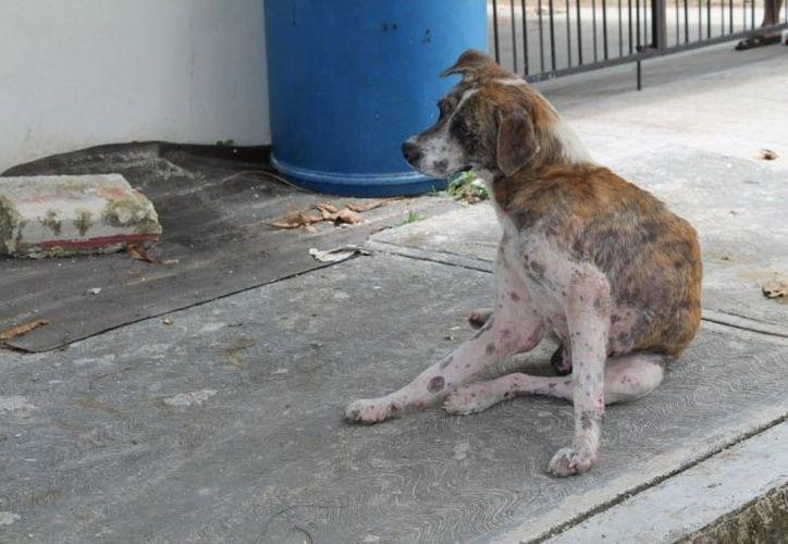 """Especialista recordó que """"mucha gente se cansa de sus perros y simplemente los avienta a la calle"""". (Archivo SIPSE)"""
