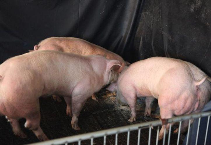 Imagen de los cerdos creados por los científicos surcoreanos y chinos, que podrían servir para consumo humano. (Xi-jun Yin)