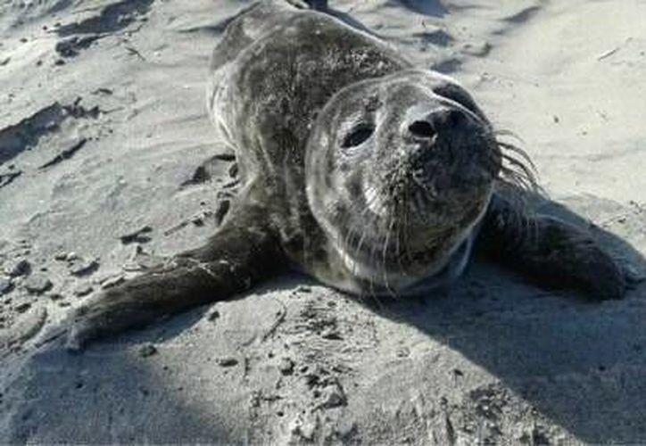 La pequeña foca no presenta heridas propias de la acción humana, indicó Profepa. (Profepa/Facebook)
