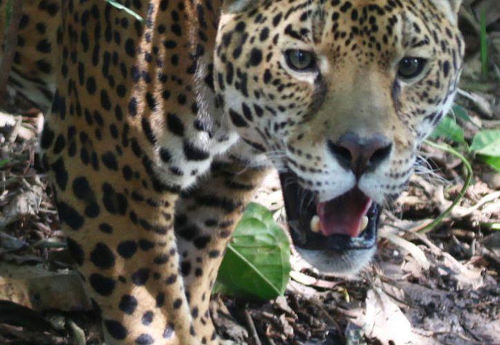 Es urgente mantener poblaciones viables del jaguar en Quintana Roo. (Foto: Redacción/SIPSE)