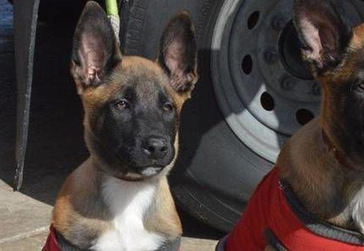 Imagen del 2013 de SAR y Docky, dos de los pocos perros adiestrados en el mundo para nado y rescate de personas en el océano de la Armada de México. (Foto de Sergio Muñoz/el-mexicano.com.mx)
