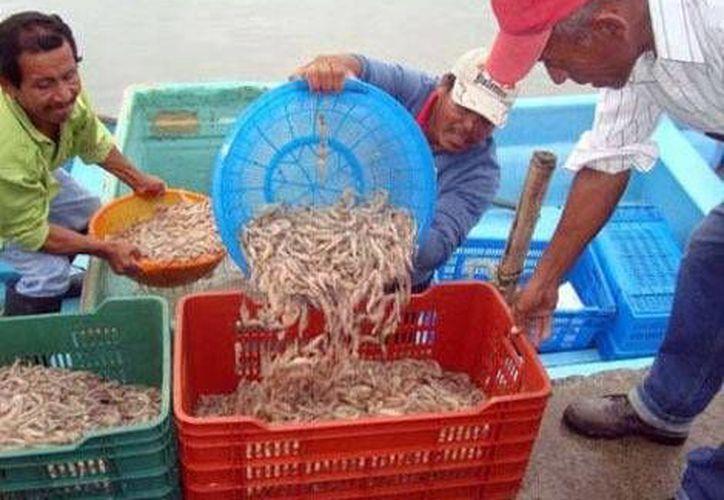 Por el momento no debe capturarse camarón porque aún no llegan a la talla establecida. (Milenio)