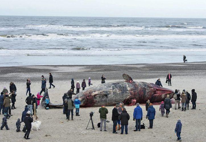 Las ballenas de la especie 'piloto' vararon en la Isla Clemente, a unos mil 500 km de Santiago, Chile, hace unos dos meses, según estudios preliminares. (EFE/Archivo)