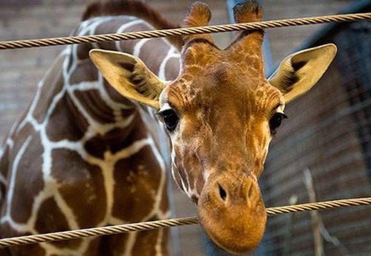 Si el programa europeo no encuentra un nuevo hogar para Marius, el zoológico de Jyllands lo sacrificará. (Reuters)