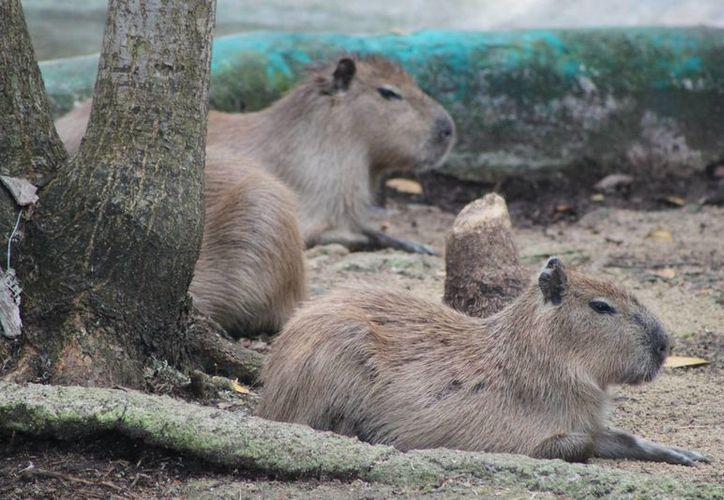 El zoológico cuenta con 50 animales con fines educativos. (Yenny Gaona/SIPSE)