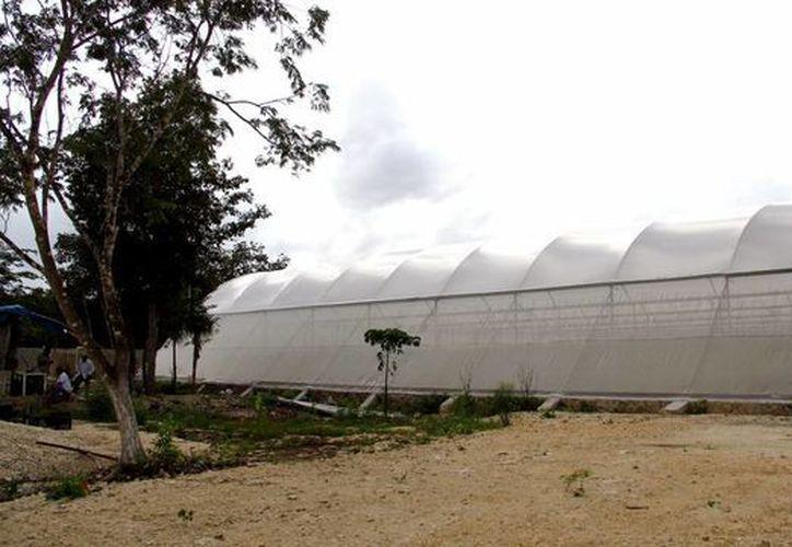 El producto, cultivado en invernaderos, es capaz de durar hasta 21 días; los frutos de la siembra común duran seis días. (Israel Leal/SIPSE)