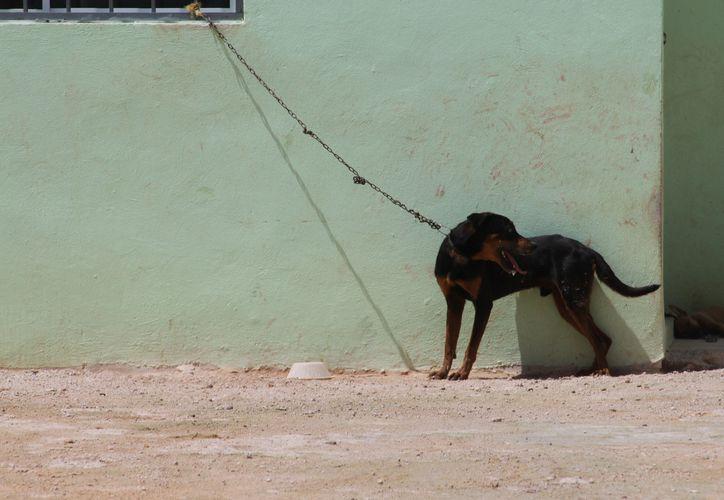 El protocolo busca que los posibles delitos contra animales puedan ser reportados a través del número de emergencias 911. (Ángel Castilla/SIPSE)