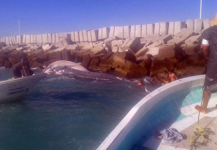 Pescadores ribereños hallaron a la ballena el domingo pasado. El cetáceo tenía problemas de parásitos y el interior estaba muy degradado. (Milenio Novedades)