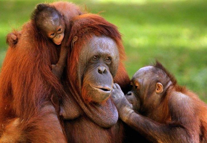 En 16 años, han desaparecido 42 mil 500 orangutanes. (Blog del Proyecto Lemu)