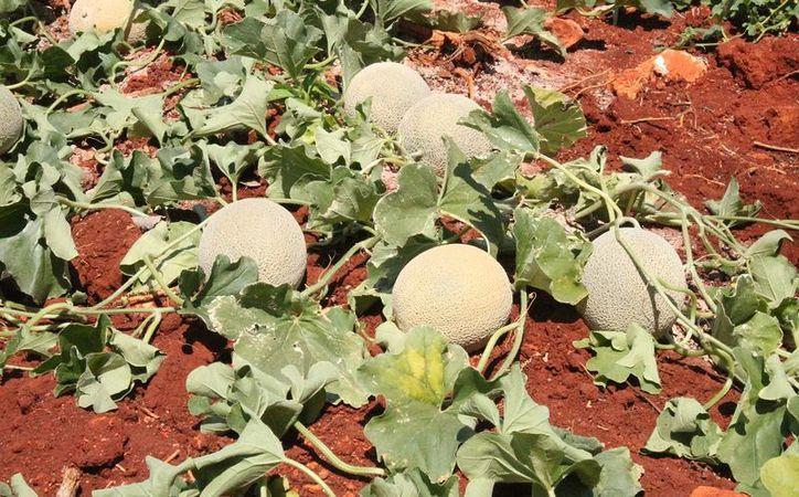 El cultivo se realizó en una superficie de 15 mil metros cuadrados. (Juan Rodríguez/SIPSE).