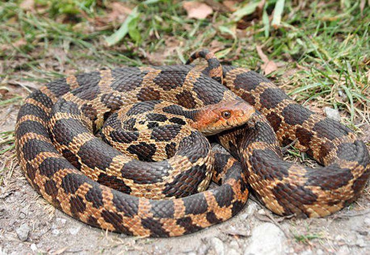 Chaoyi Le  fue descubierto cuando llevaba tres serpientes de hocico de cerdo occidental escondidas en sus calcetines. (Foto: Contexto)