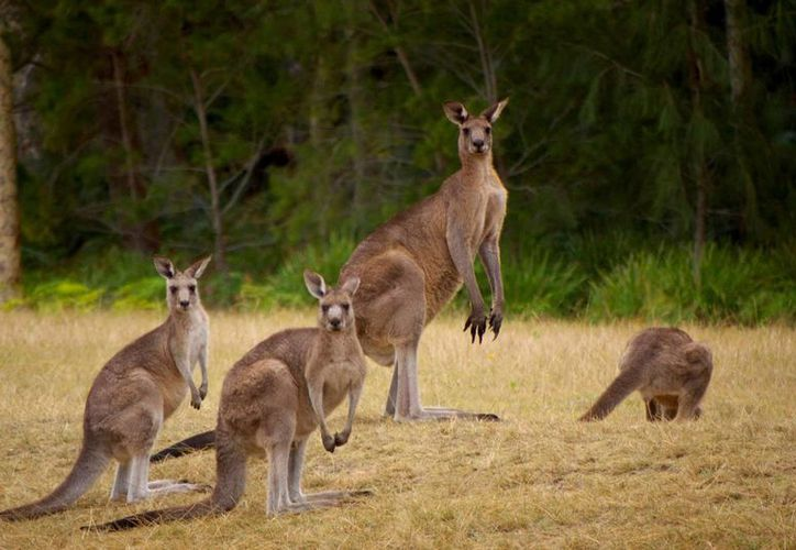 Los canguros son un referente de Australia. (eligenuestraaventura.com )