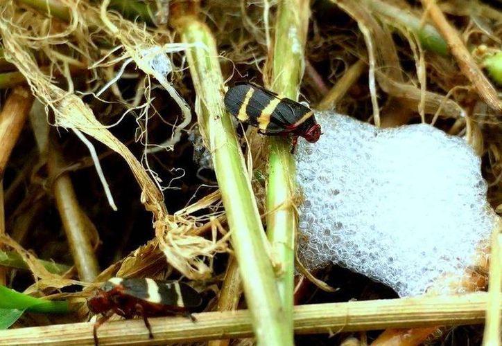 La mosca pinta deja seca la vara dulce, pues chupa toda la sacarosa. Es capaz de acabar con la caña en menos de 15 días. (Carlos Castillo/SIPSE)
