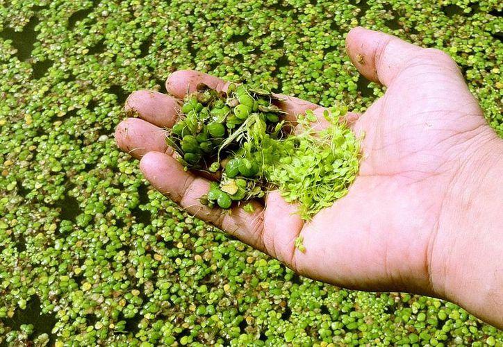 El ejido de Laguna Om cuenta con buenas tierras para el desarrollo de este proyecto dado que la humedad relativa es óptima para dicha planta. (Foto/Internet)