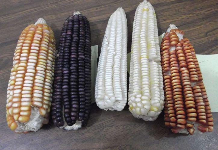 El 80% de la producción de maíz elotero es para vender y lo que resta para el consumo de las familias. (Carlos Yabur/SIPSE)