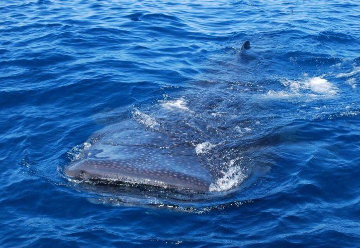 Los recorridos para el avistamiento del tiburón ballena  debe acatar la normatividad como mantener una velocidad específica y permanecer a una distancia mínima de acercamiento de cinco metros. (Archivo/SIPSE)
