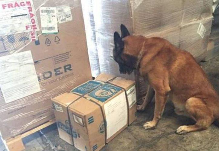 Los agentes caninos han apoyado en la detección de drogas. (Foto: Milenio Novedades)