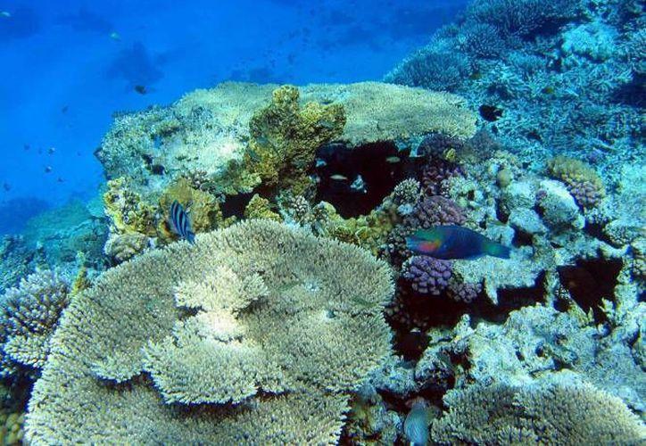La Uqroo dio a conocer los resultados de una investigación sobre la vida marina en el Parque Nacional Arrecifes de Puerto Morelos en Quintana Roo. (Archivo/SIPSE)