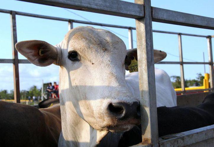Con el último incremento, el precio del ganado en pie se encuentra en alrededor de 34 pesos el kilogramo, lo que afecta las ganancias. (Javier Ortiz/SIPSE)