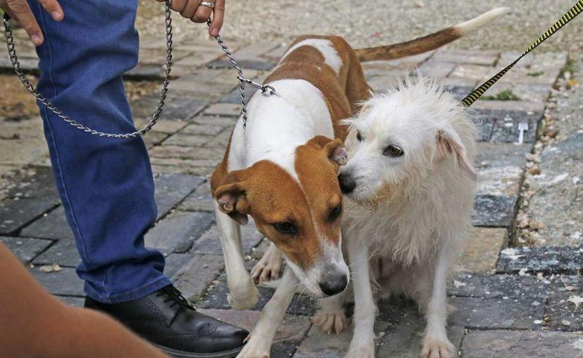 De los más de 40 perros que tienen en el Centro de Atención Canina, al menos 20 están con algún tipo de enfermedad.  (Foto: Jesús Tijerina/SIPSE)