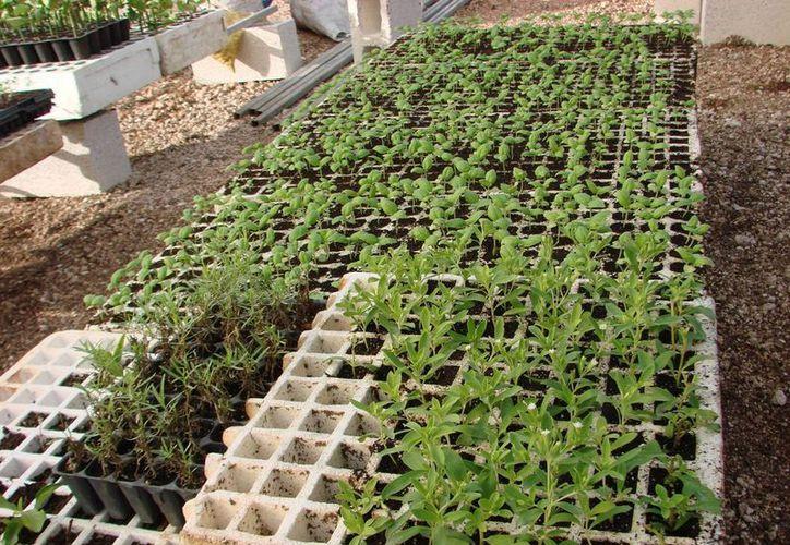 Los almácigos para cada variedad de planta de olor, son preparados escrupulosamente. (Manuel Zalazar/SIPSE)