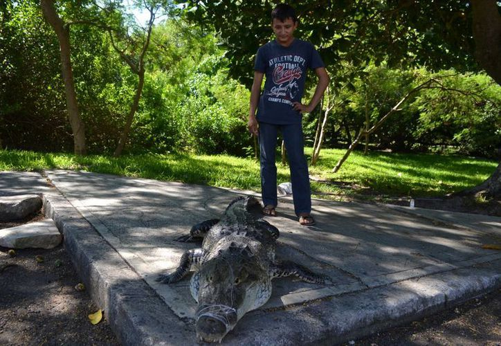 Un menor atrapó ayer a un enorme cocodrilo, cuando estaba pescando a la altura del salón Bellavista. (Redacción/SIPSE)