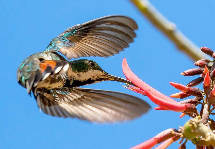 En la isla de Cozumel se han registrado tres especies de colibrí. (Foto: Benny Campos)