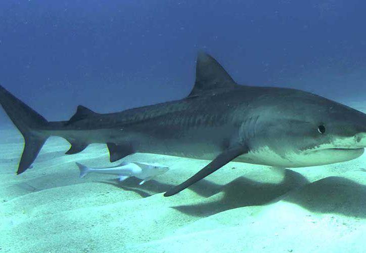Los tiburones en el Golfo Pérsico están en peligro de extinción. (Contexto/Internet)