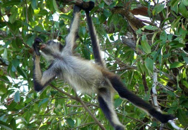 """Según la Profepa el mono araña están en la categoría """"Peligro de Extinción"""". (SIPSE)"""