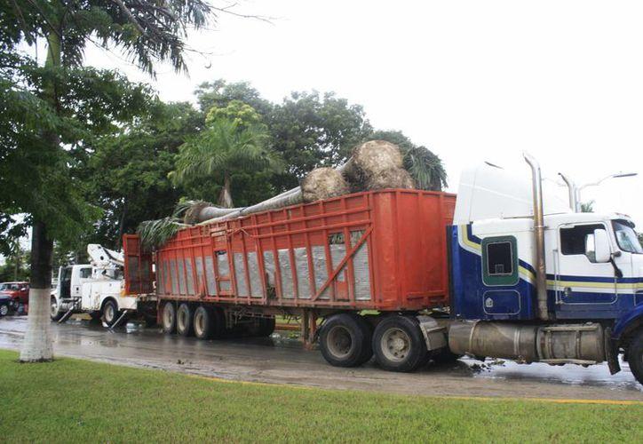 Las palmeras permanecerán bajo resguardo del Ayuntamiento de Othón P. Blanco. (Harold Alcocer/SIPSE)