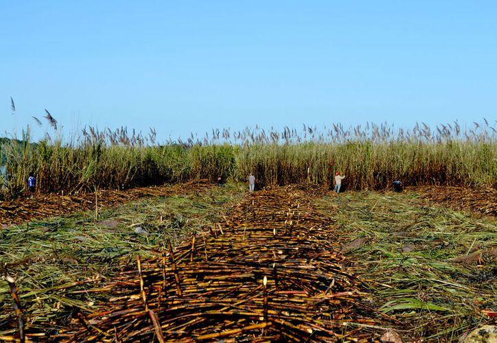 La afectación por la sequía se calcula en 40% de forma general en las 30 mil hectáreas que se tienen abiertas al cultivo de caña. (Juan Rodríguez / SIPSE)