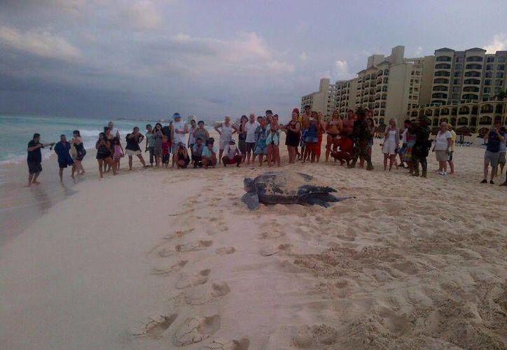 La presencia de la tortuga tomó por sorpresa a los turistas. (Israel Leal/SIPSE)
