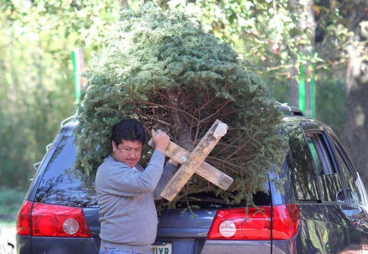 De 2005 han entrado al país poco más de 11 millones de pinos de Navidad. (Archivo/Notimex)