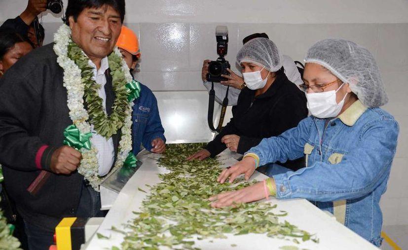 Evo Morales al inaugurar una fábrica de mates (té hecho con hojas de coca) en La Paz,  Bolivia. (Archivo/EFE)
