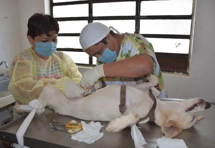 Sedará especial atención a los animales que presentan algún tipo de enfermedad, a de esterilizar a todos los rescatados. (Carlos Castillo/SIPSE)