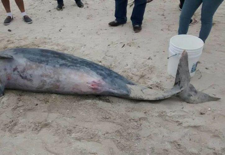 Inspectores de la Profepa consideran que la muerte de un delfín de 2.43 metros de longitud fue posiblemente causada por un cordel o red. (SIPSE)