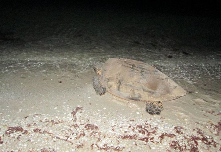 La Profepa protegerá a las tortugas en su proceso de anidación. (Milenio Novedades)
