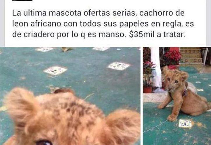 El cachorro de león africano que se ofrecía en venta en Facebook. (Óscar Pérez/SIPSE)