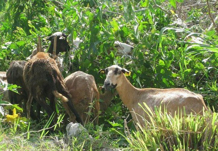 Los productores no alcanzan a cubrir la demanda que representan cuatro corredores de consumo de ovinos en el sur del estado. (Javier Ortiz/SIPSE)