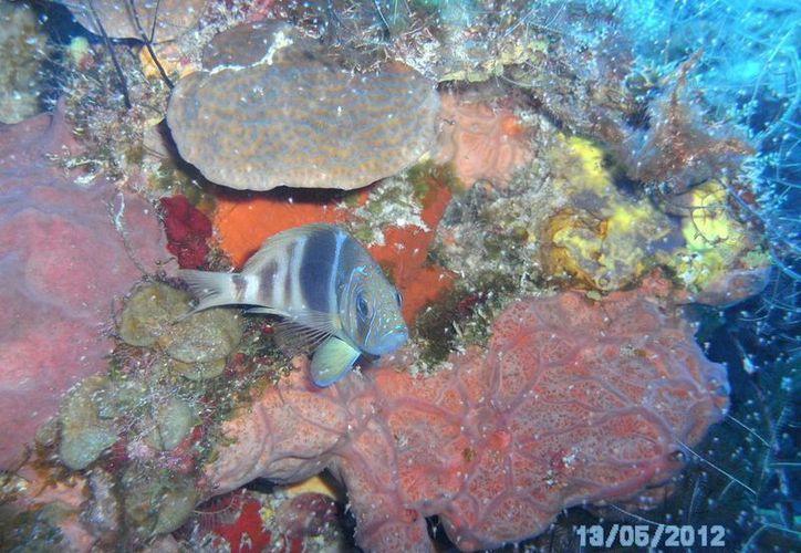 Sobrepesca, contaminación, sedimentación, eutrofización, cambio climático, entre otras situaciones afectan los arrecifres. (Redacción/SIPSE)