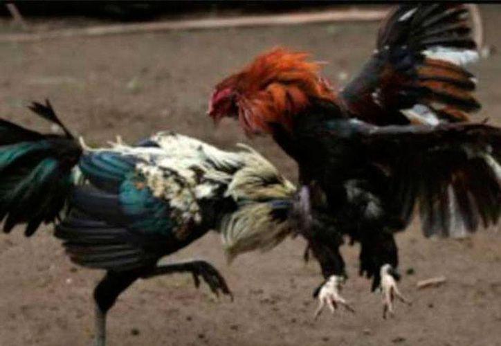 En una pelea de gallos clandestina, un comando armado mató a una persona e hirió a otras 7, en San José El Nuevo, Guanajuato. La imagen es de contexto, sólo con fines ilustrativos. (excelsior.com.mx)