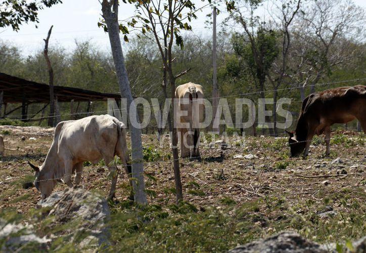 La agrupación está integrada por 50 criadores de ganado de registro. (Novedades Yucatán)