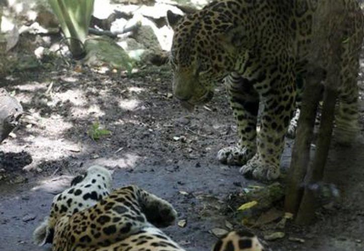La delegación estatal de la Profepa ha implementado comités de protección del jaguar. (Harold Alcocer/SIPSE)