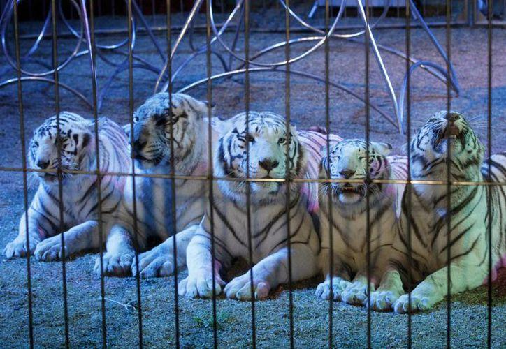 Desde hace seis meses entró en vigor la ley de circos sin animales, la cual propuso el PVEM. Imagen de la gira del adiós de espectáculos con animales del Circo Francisco Atayde. (Archivo/Notimex)