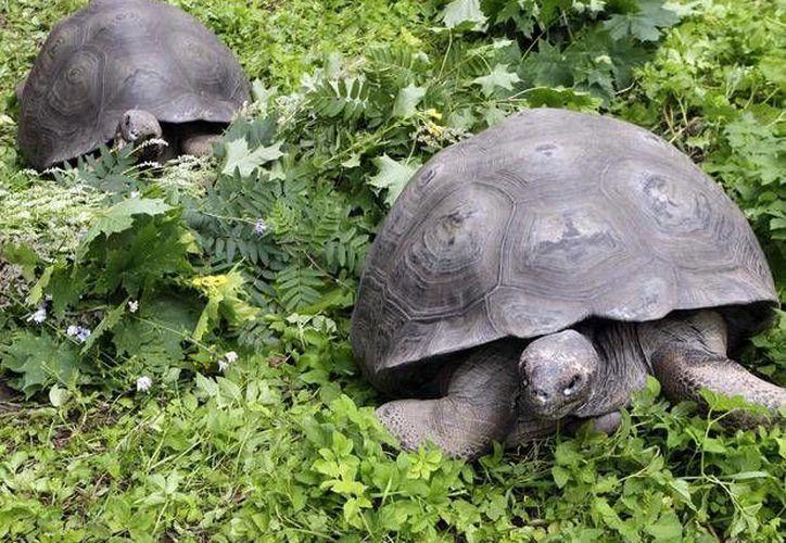 Las tortugas de la parte sur de la isla Isabela han sido seriamente amenazadas. (Archivo/Reuters)