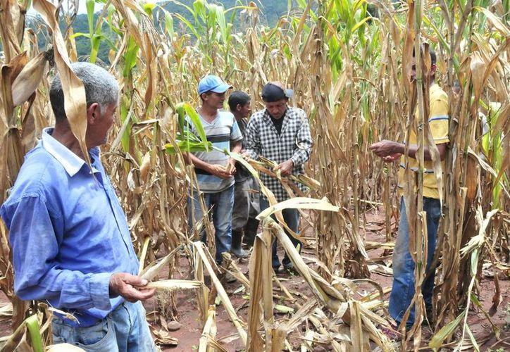 Esta situación afecta a todas a las comunidades de la zona, ya que viven exclusivamente de la agricultura. (Carlos Castillo/SIPSE)