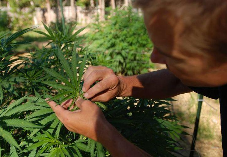Al menos tres iniciativas de ley que promueven la despenalización del consumo de marihuana en México están pendientes de discutirse y aprobarse. (Agencias)